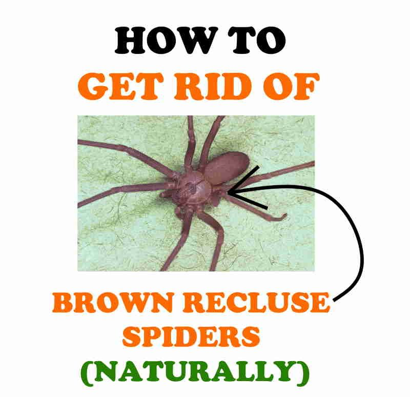 How to get rid of brown recluses at home.