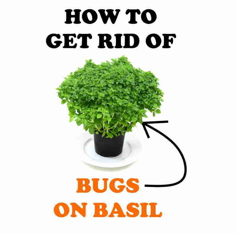 Exterminate basil pests.