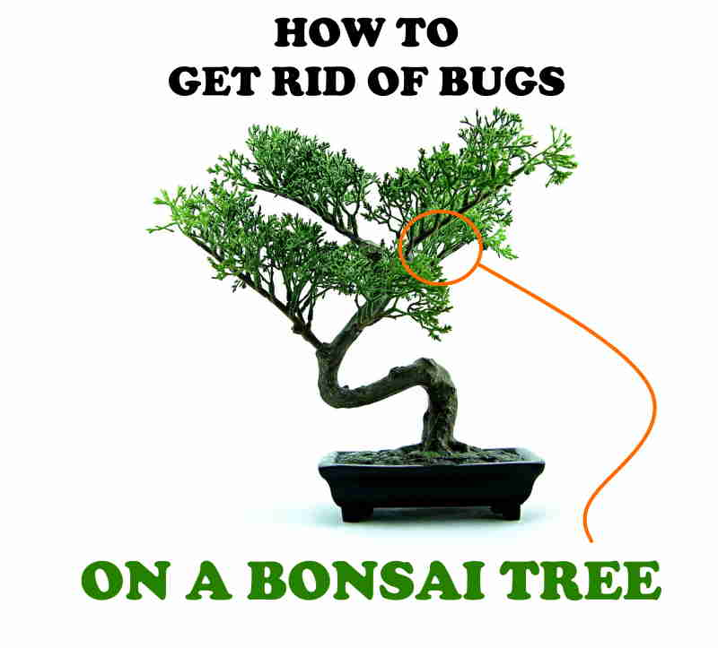 How To Get Rid Of Bugs On Bonsai Trees Naturally Bugwiz