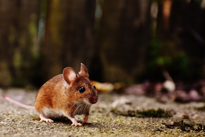 How you can get rid of field mice at home naturally.