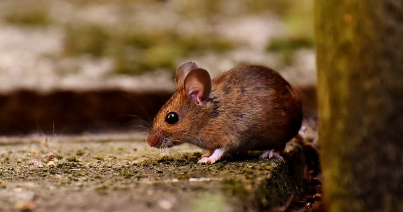 A house mouse eating leftovers outdoors.