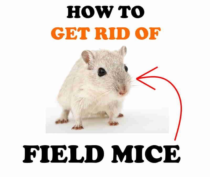 How to get rid of field mice naturally.