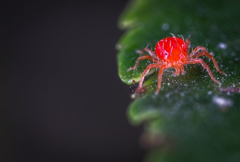Spider mite eating a pepper plant.