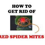 How to Get Rid of Red Spider Mites (Proven DIY Remedies)