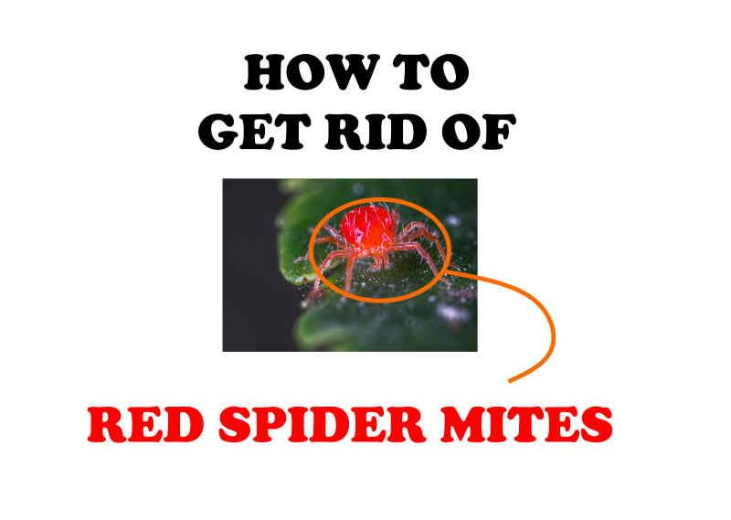 How to get rid of spider mites naturally DIY home remedies.