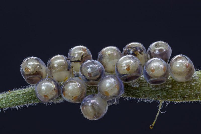 Spider mite eggs.