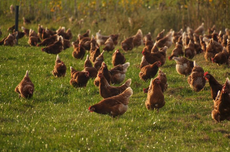 Protect free-range chickens.