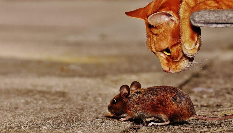 Natural mice predators.
