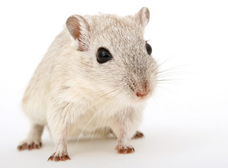 A persistent house mice that hides in your home.