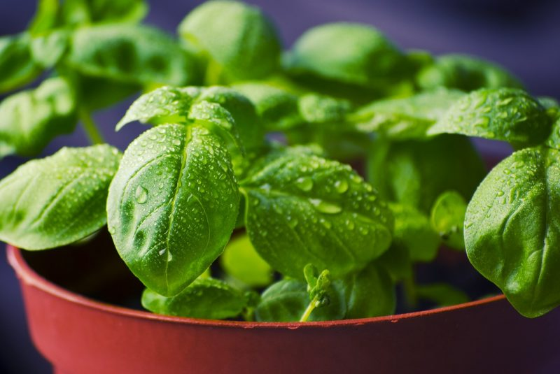 How to get rid of bugs on basil.