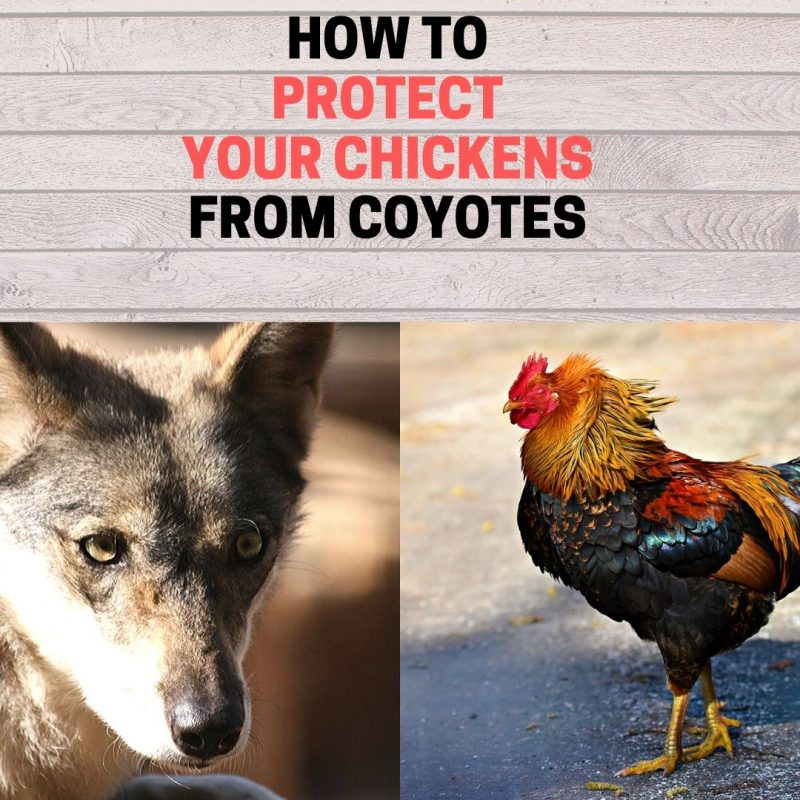 DIY protect chickens from coyotes.