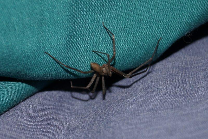 Brown recluse spider sofa.