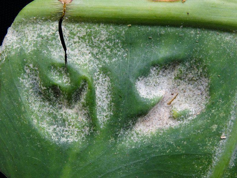 Spider mite webbing.