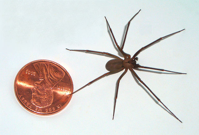 Brown recluse spider appearance and size.