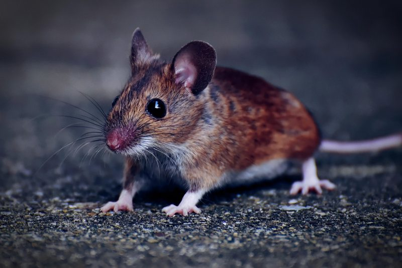 Wild field mouse.