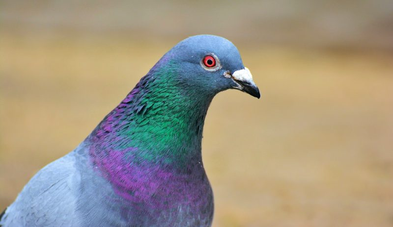 Pigeon close up.