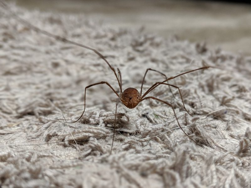 Cellar spider macro.