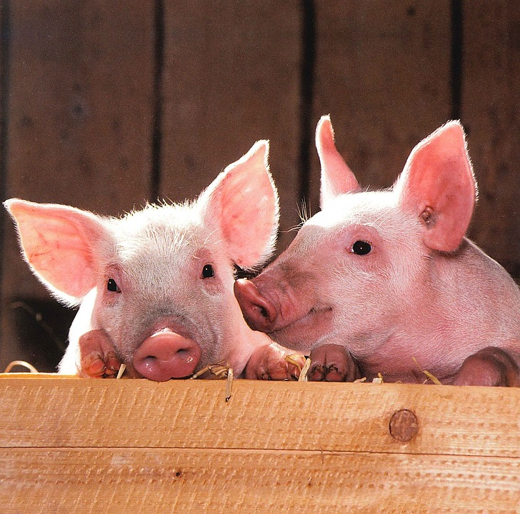 How to get rid of raccoons in the barn to protect your livestock, like these pigs.