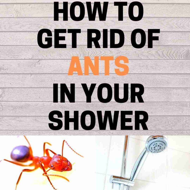 How to get rid of ants shower naturally