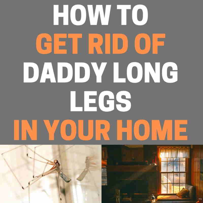How to get rid of daddy long leg harvestmen spiders in the home.