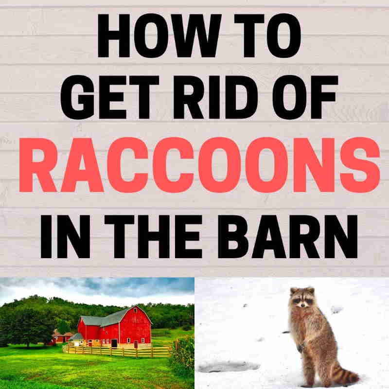 How to get rid of racoons from barn.