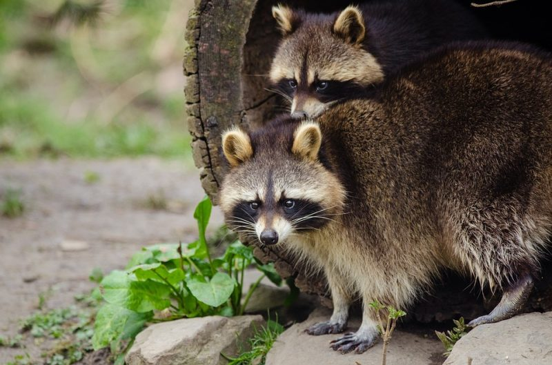 Raccoons outdoors.