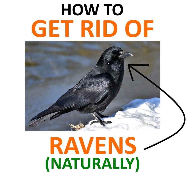 How to repel and control ravens.