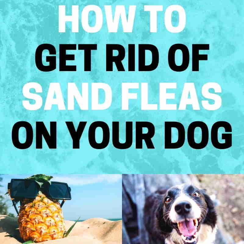 Sand fleas on dog.