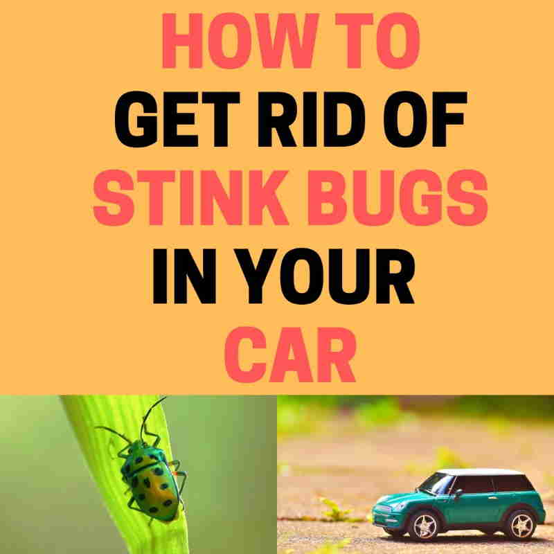 How to get rid of stink bugs in your car.