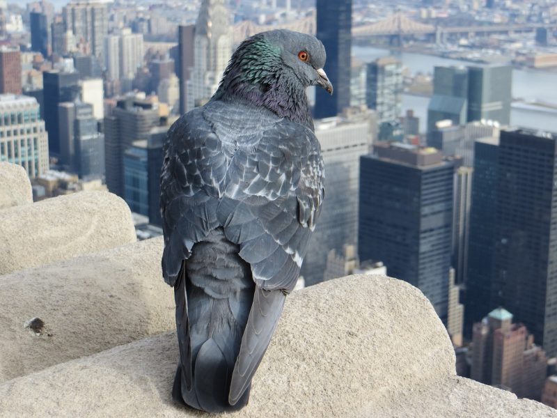 Pigeon on rooftop.