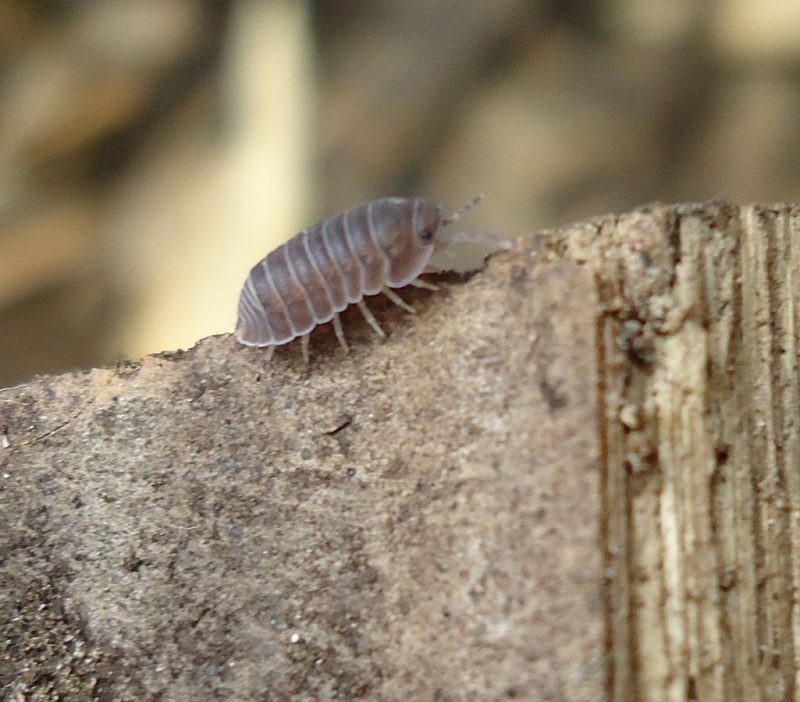 Pillbug outdoors on a branch in the yard.
