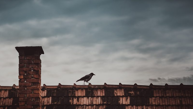 Raven on rooftop.