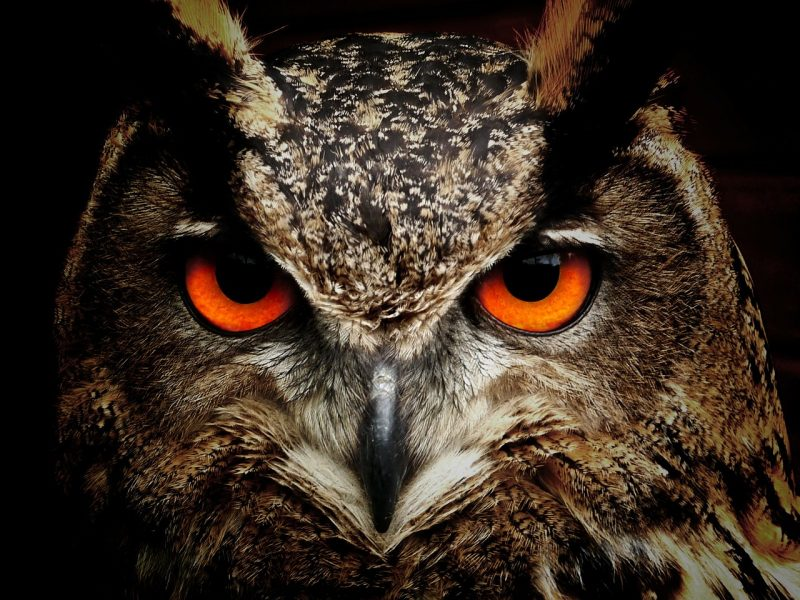 Owls are raven predators.