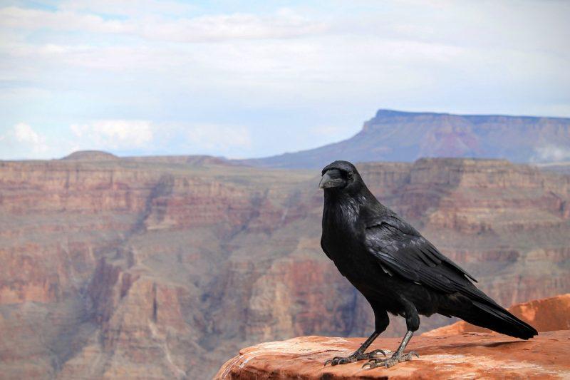 Raven vs. crow.