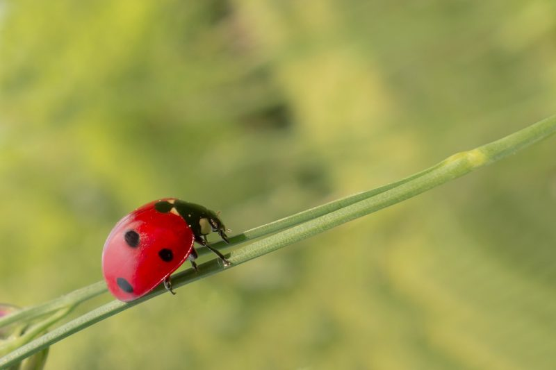 Ladybug crawling on a plant foraging for potato bug larvae.