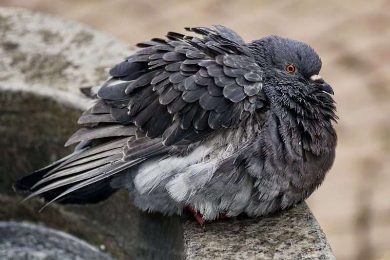 A sleeping pigeon on a fountain.