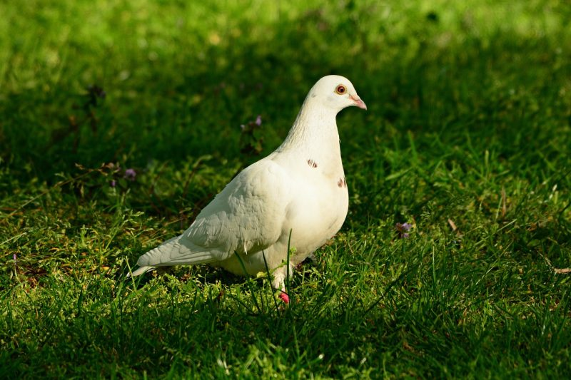 White pigeon.