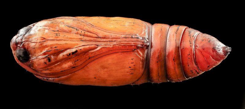 Cutworm pupa.