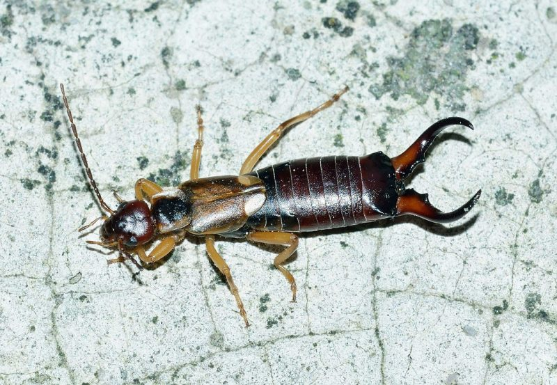 Earwigs can damage plants extensively.
