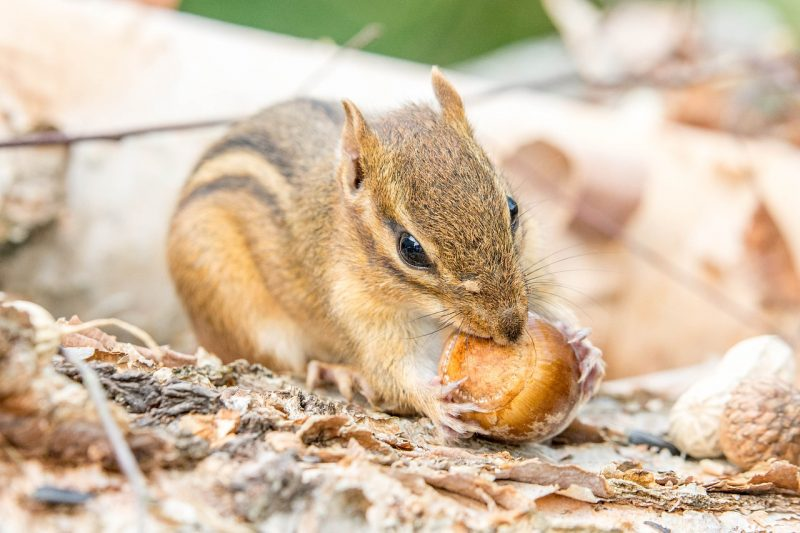 Chipmunk eating a nut.