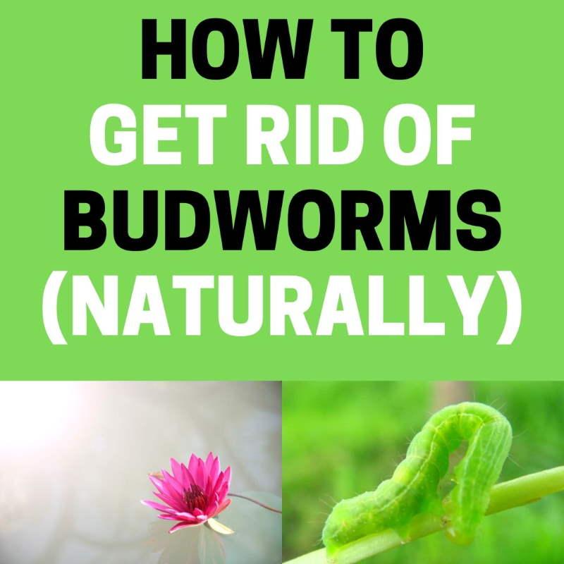 Budworm control.