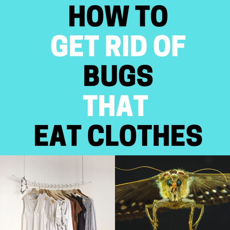 How to get rid of bugs eating clothes.