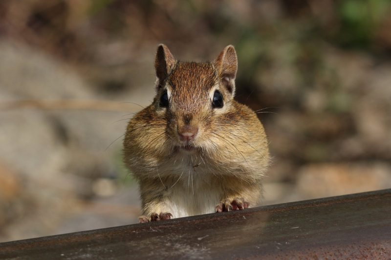 Control and use DIY home remedies to naturally get rid of chipmunks.