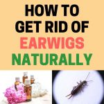 How to Get Rid of Earwigs Naturally (Ultimate Guide)