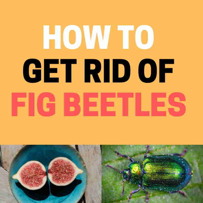 How to get rid of fig beetles.