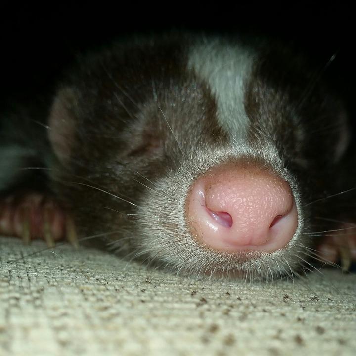 Skunk sleeping under the home.