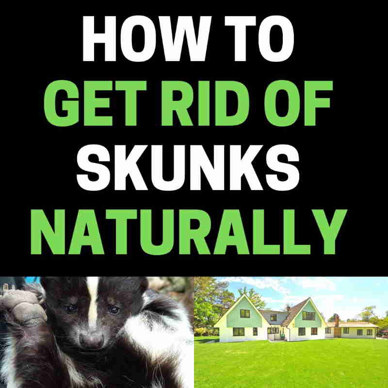 How to get rid of skunks in the yard.