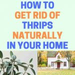 How to Get Rid of Thrips Inside the House (Ultimate Guide)