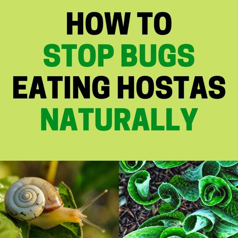 How to get rid of hostas pests.