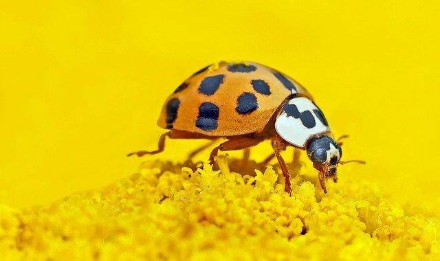 Ladybugs eat thrips.